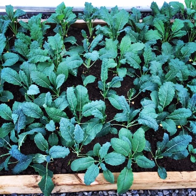 Kale –  Green Vegetable Purée